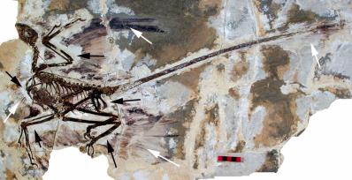 Microraptor gui holotype david w e hone helmut tischlinger xing xu fucheng zhang cc by 2 5